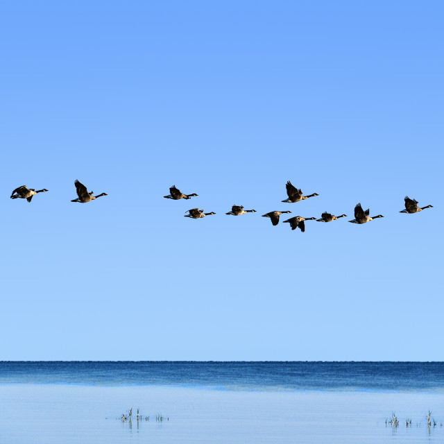 """Flock of Canadian geese in flight"" stock image"