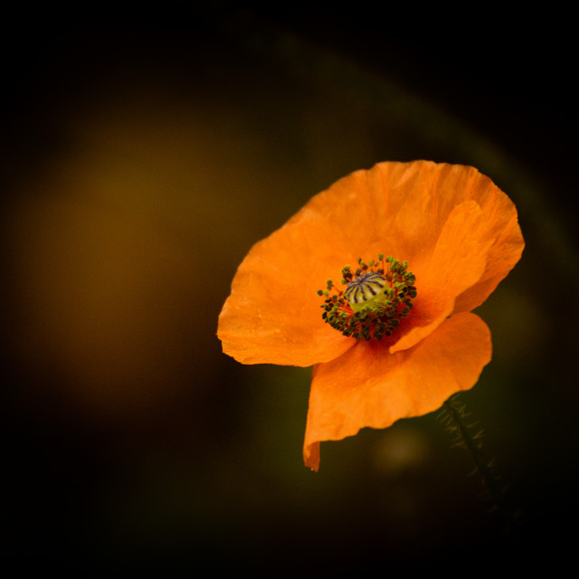"""Poppyflower"" stock image"