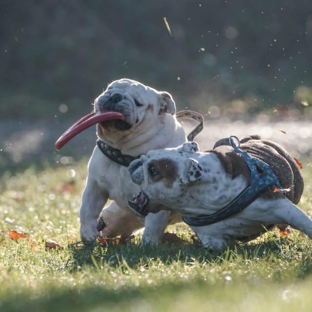 """""""Two happy English bulldogs on an autumn day in the forest with their favorite toy"""" stock image"""
