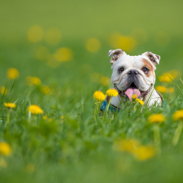 """""""Isolated happy English bulldogs on a summer day in a field with flowers"""" stock image"""