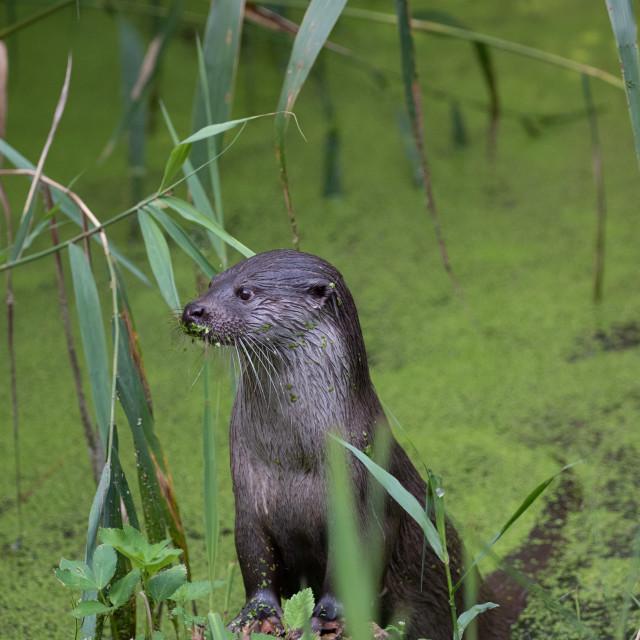 """Portrait of a European Otter"" stock image"