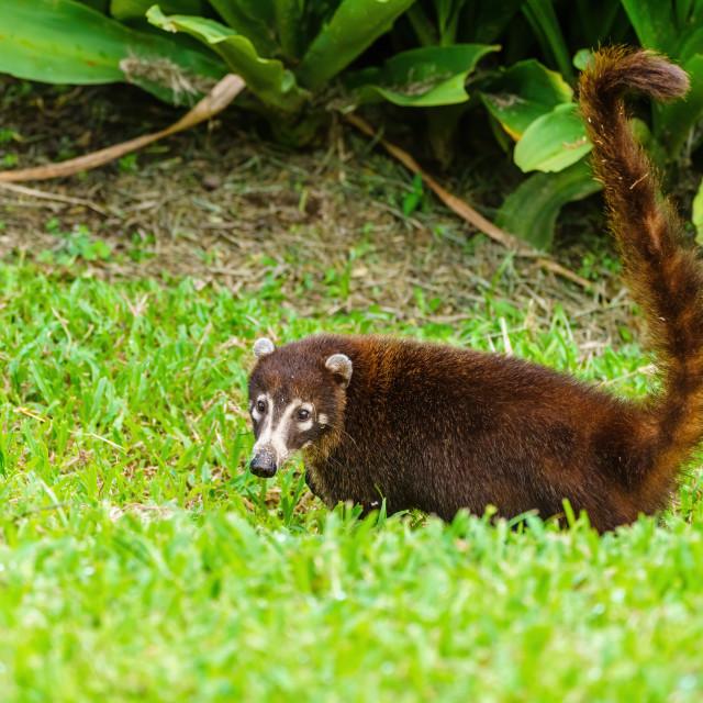 """Ring-Tailed Coati (Nasua nasua rufa) looking over shoulder to camera, taken..."" stock image"