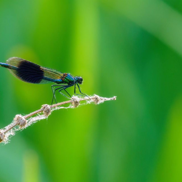 """""""Banded Demoiselle (Calopteryx splendens) perched on a dead stem, taken in the UK"""" stock image"""