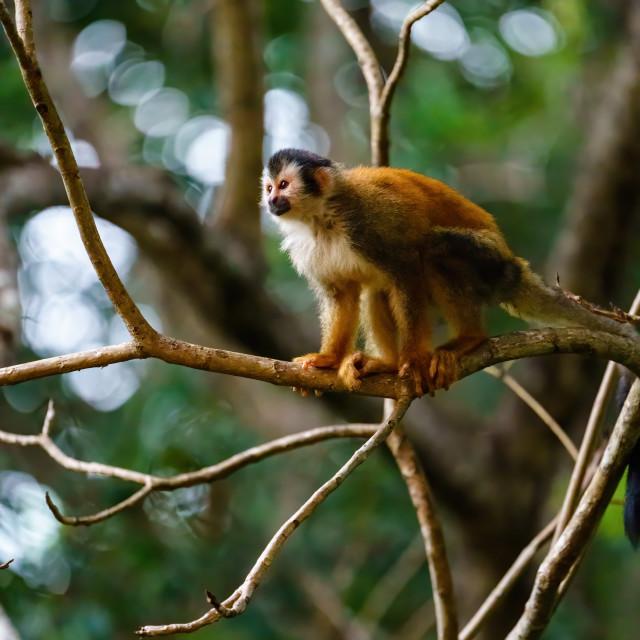 """Common Squirrel Monkey (Saimiri sciureus) in deep jungle shade in Costa Rica"" stock image"