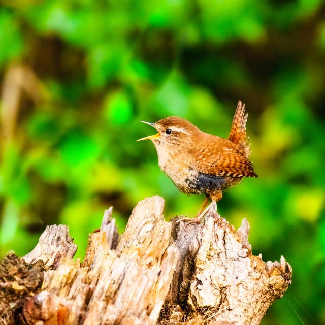 """""""Wren (Troglodytes troglodytes) perched on tree stump singing, taken in the UK"""" stock image"""