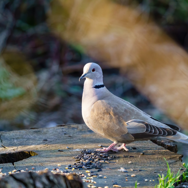 """""""Collared dove (Streptopelia decaocto) sitting on tree stump in early morning..."""" stock image"""