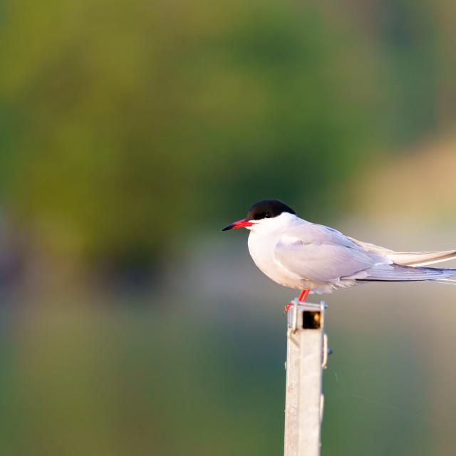 """Common Tern (Sterna hirundo) perched on a metal rail, taken in London"" stock image"