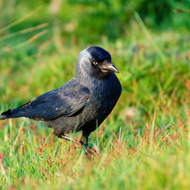 """Jackdaw (Corvus monedula) searching ground for food, taken in London"" stock image"