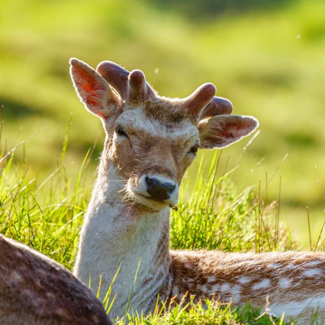 """Fallow Deer (Dama dama) stag in spring, backlit byt he sun, taken in England"" stock image"