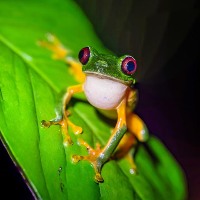 """Red-Eyed Tree Frog (Agalychnis callidryas) on a leaf looking at camera, taken..."" stock image"