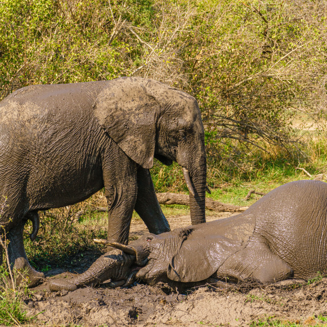 """""""Two African Elephant (Loxodonta africana) playing around in a mud bath, taken..."""" stock image"""