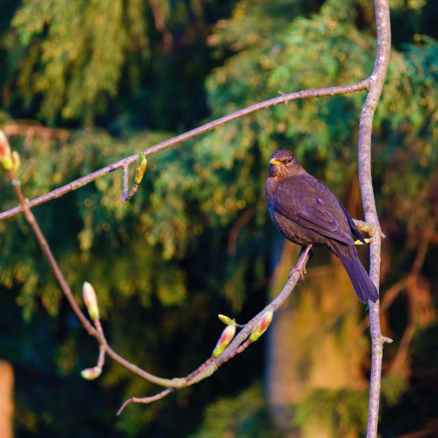 """""""Blackbird (Turdus merula) male perched on a branch, taken in the UK"""" stock image"""