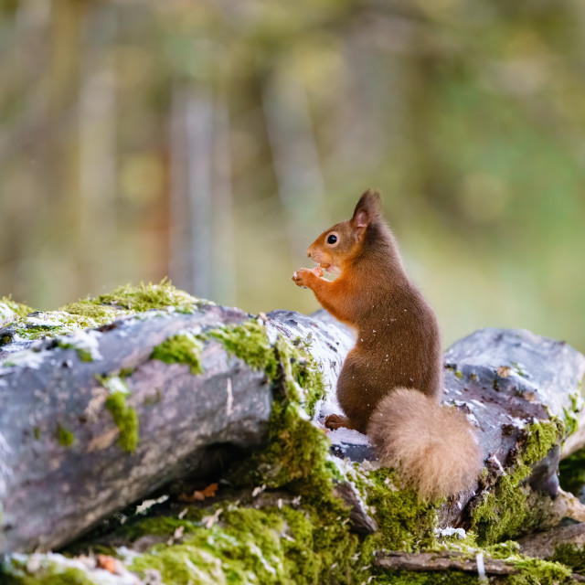 """red squirrel (Sciurus vulgaris) on some logs eating a nut, taken in Scotland"" stock image"