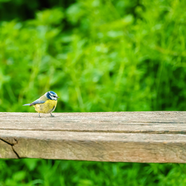 """Blue Tit (Cyanistes caeruleus) on a wooden branch, taken in London"" stock image"