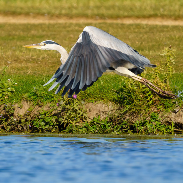 """""""Grey Heron (Ardea cinerea) taking off from the side of a pond, taken in..."""" stock image"""