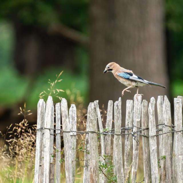 """Eurasian Jay (Garrulus glandarius) hopping along a fence, taken in Richmond..."" stock image"