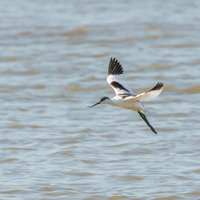 """Pied Avocet (Recurvirostra avosetta) in flight over the River Thames, England"" stock image"