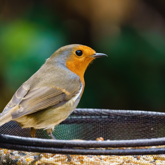 """""""European Robin (Erithacus rubecula) standing in a bowl of bird food, taken in..."""" stock image"""