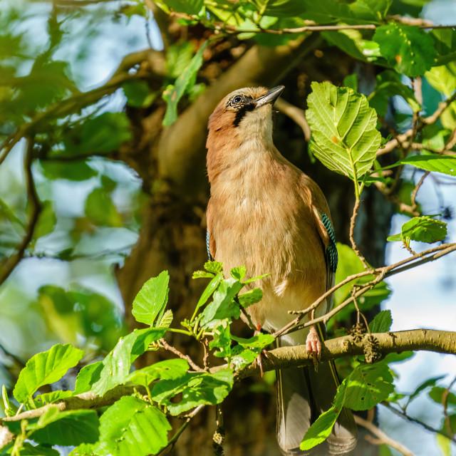 """Eurasian Jay (Garrulus glandarius) perched in a tree in London"" stock image"