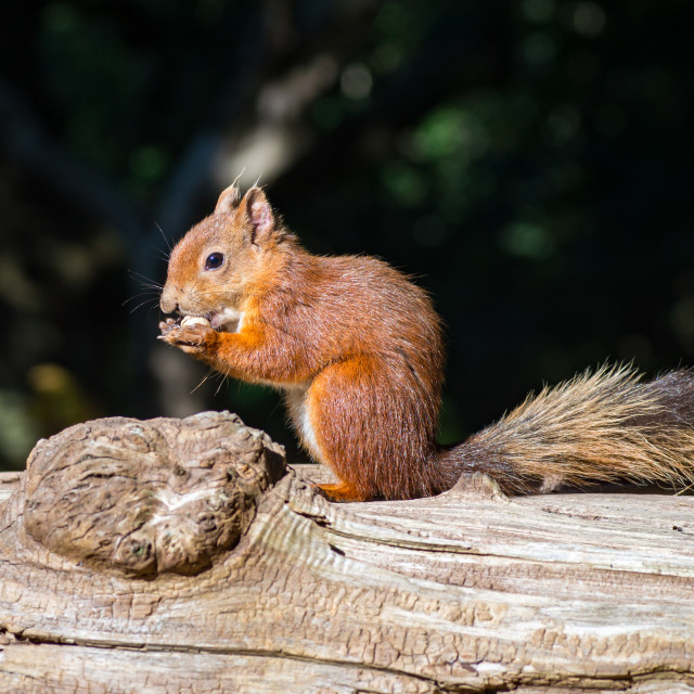 """""""Red Squirrel Feeding on a Nut"""" stock image"""