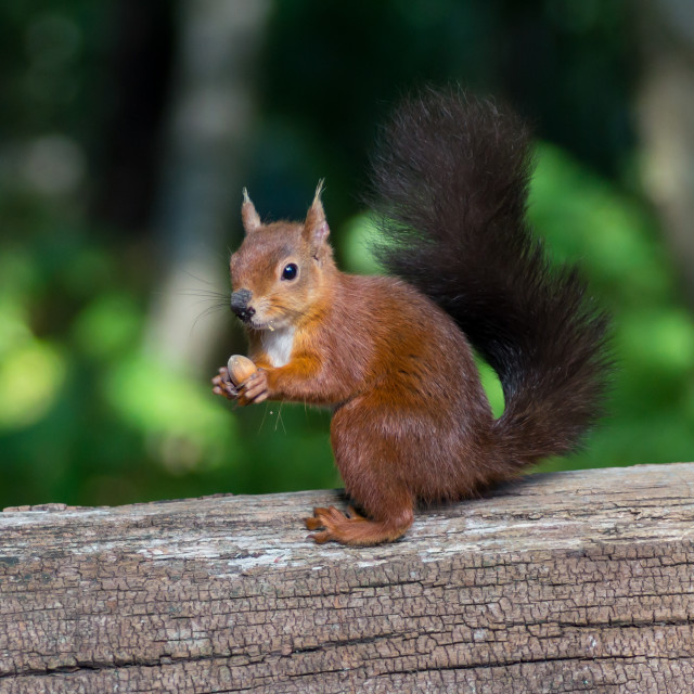 """""""Red Squirrel Holding a Nut"""" stock image"""