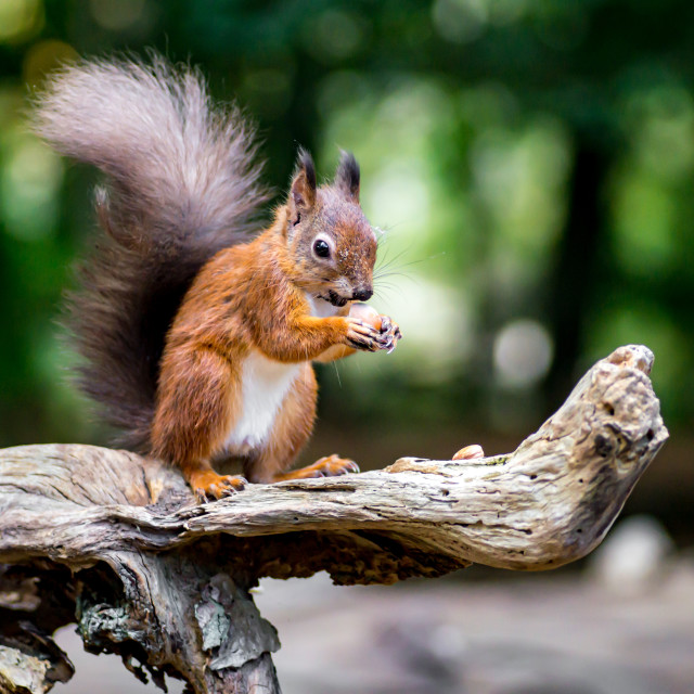 """""""Red Squirrel Standing on an Old Log"""" stock image"""