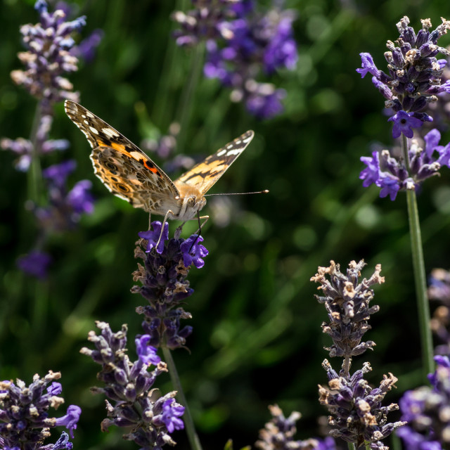 """""""Painted Lady Butterfly Taking Nectar from a Purple Flower"""" stock image"""