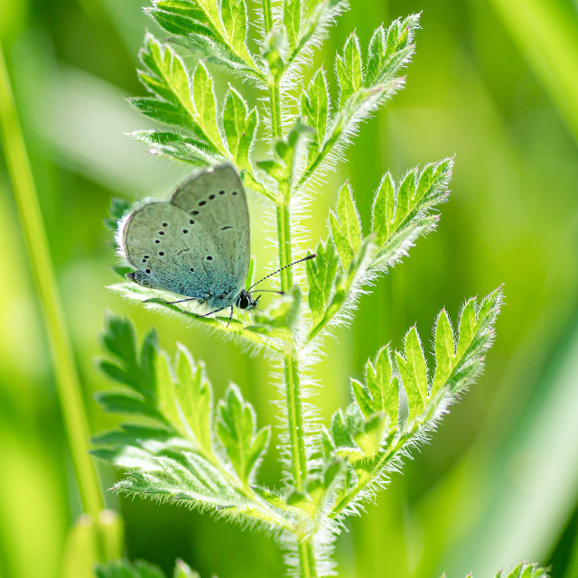 """""""Small Blue Butterfly"""" stock image"""