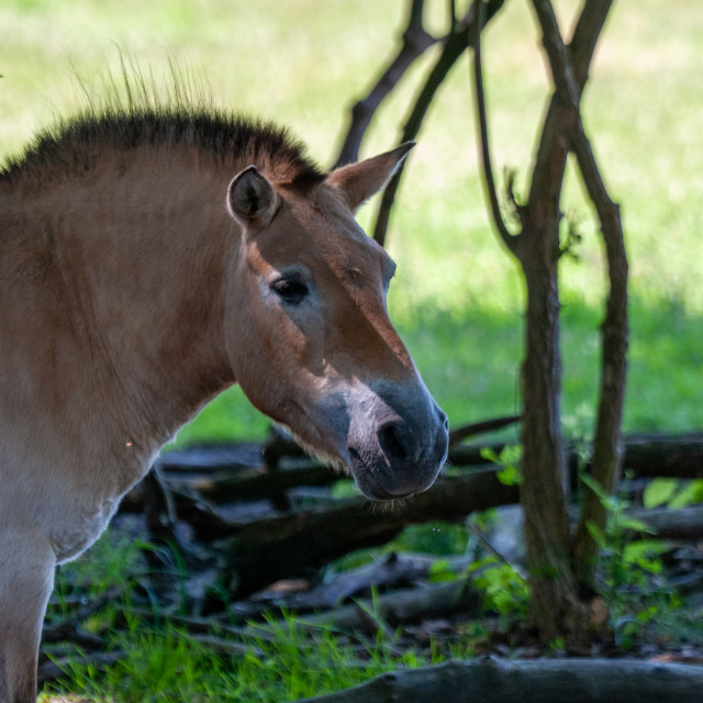"""Portrait of a Przewalski's Horse"" stock image"