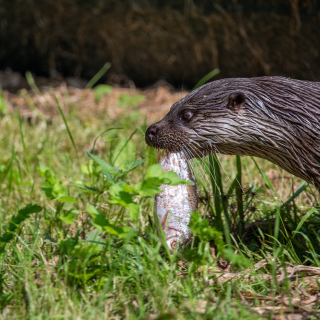 """""""European Otter with catch"""" stock image"""