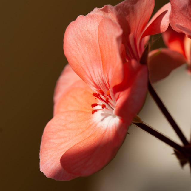 """Geraniums"" stock image"