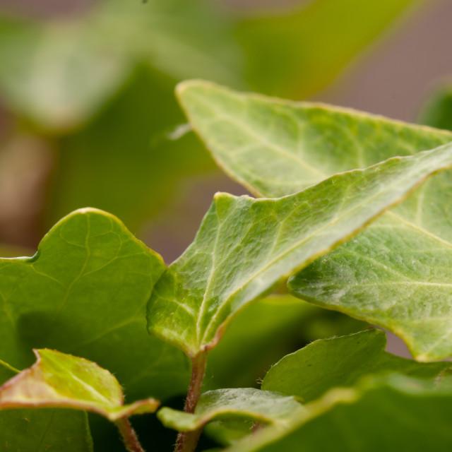 """Dry Ivy"" stock image"
