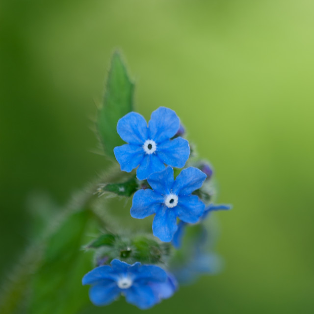 """Sapphire Browallia"" stock image"