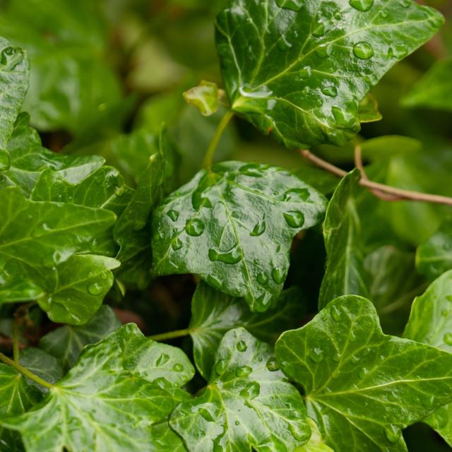 """""""Wet ivy"""" stock image"""