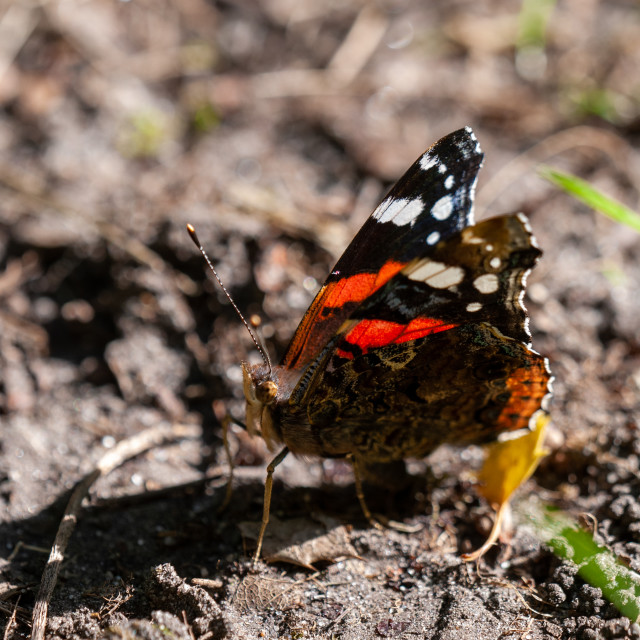 """Butterflies: Red Admiral"" stock image"