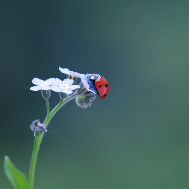 """Little red ladybug from my flower garden"" stock image"