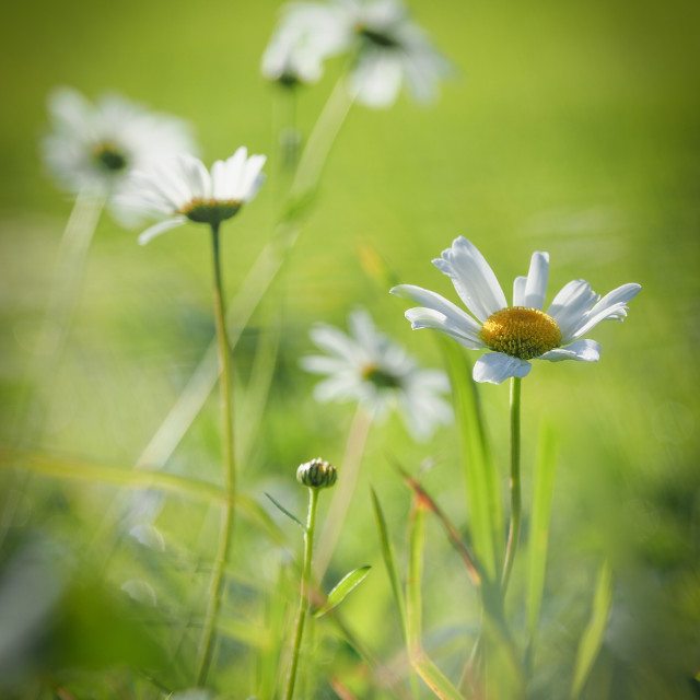 """""""Butter Daisy"""" stock image"""