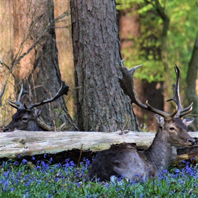 """""""Two fallow stag deer among bluebells"""" stock image"""
