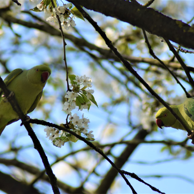 """""""Ring necked parakeets"""" stock image"""
