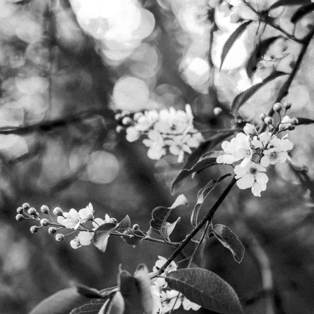 """""""ornamental apple tree"""" stock image"""