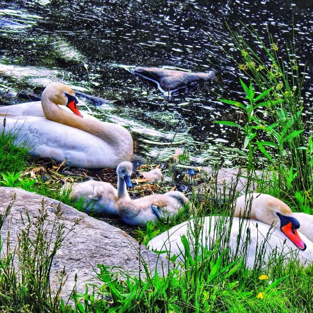"""Swan Family"" stock image"