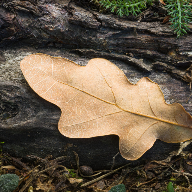 """""""Dry Leaf On The Root IV"""" stock image"""