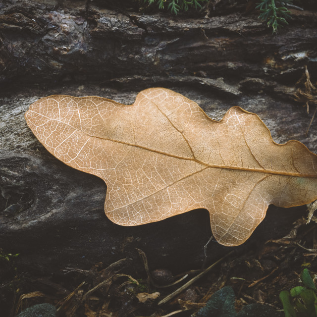 """""""Dry Leaf On The Root II"""" stock image"""