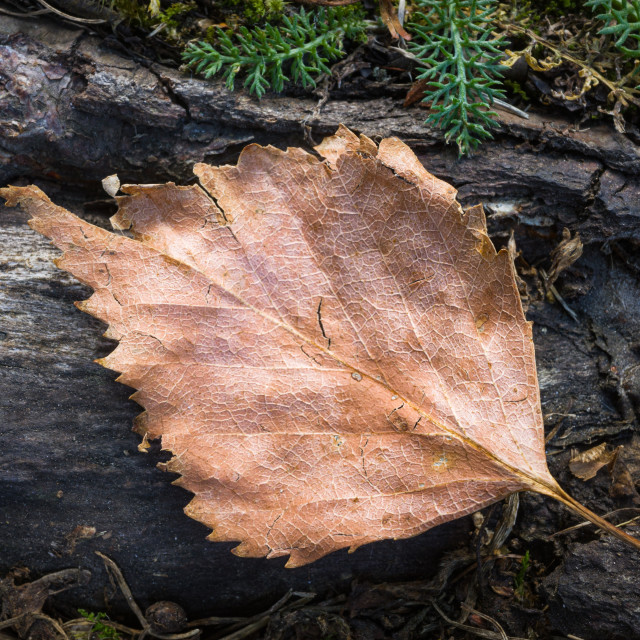 """""""Dry Leaf On The Root III"""" stock image"""