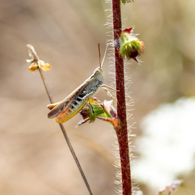 """""""Grasshopper"""" stock image"""