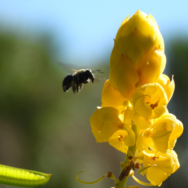 """""""Candle Bush and Bee"""" stock image"""