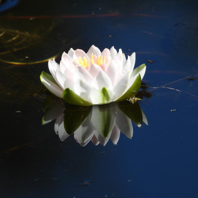 """White Waterlilies - Image 10"" stock image"