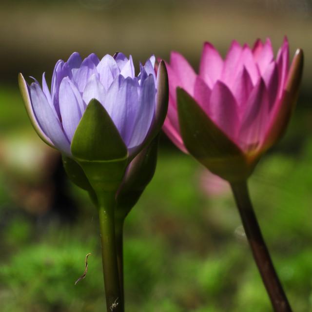 """Cozy Lotus"" stock image"
