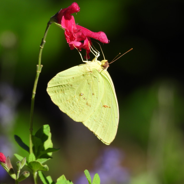 """""""Yellow Butterfly with Red Flower"""" stock image"""