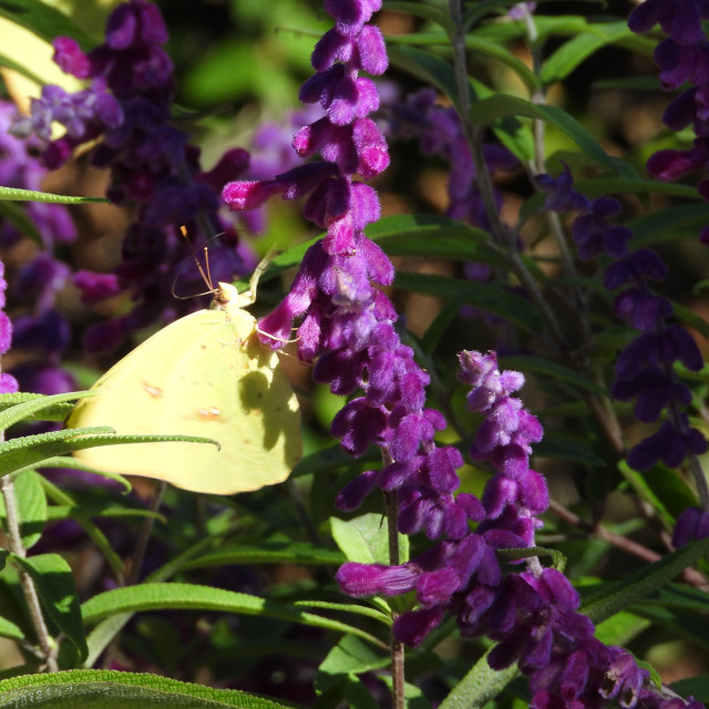"""""""Yellow Butterfly with Purple Flowers"""" stock image"""